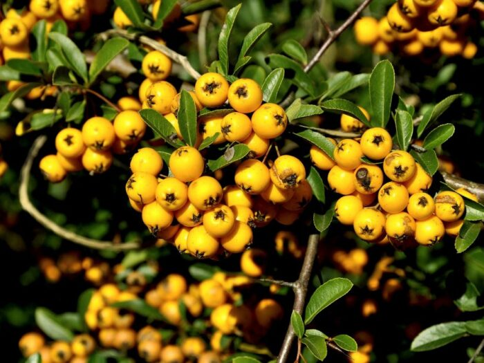 Mountain Ash - Yellow Berry Tree