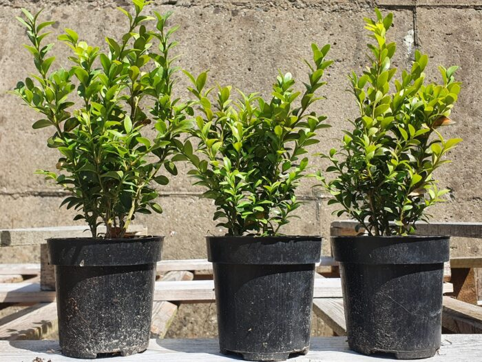 Potted Box Hedges